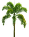 Wodyetia foxtail palm palm tree isolated on white background Royalty Free Stock Photos