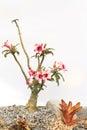 Woestijn rose pink en wit Stock Foto