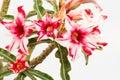 Woestijn rose red en wit Royalty-vrije Stock Foto's