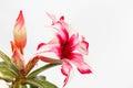 Woestijn rose red en wit Royalty-vrije Stock Afbeelding