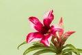 Woestijn rose red en wit Royalty-vrije Stock Afbeeldingen