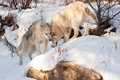 Wolf affection two wolves of timber and arctic mixture show to each other as they play on a snow covered rock Stock Photography