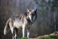 Wolf backlit grey against a background of dark forest Stock Photography