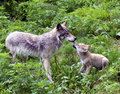 Wolf and cub Royalty Free Stock Photo