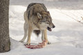 Wolf eats meat Royalty Free Stock Photo