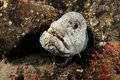 Wolf Eel Royalty Free Stock Photo