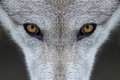 Wolf eyes closeup of the of a in yellowstone national park wyoming Royalty Free Stock Photography