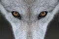 Wolf eyes Royalty Free Stock Photo