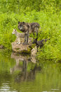 Wolf Family Reflection Royalty Free Stock Photo