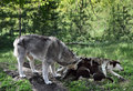 Wolf family on vacation Royalty Free Stock Photo