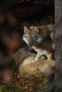 Wolf in the forest, animal photography