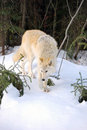 Wolf by the forest a gorgeous paws through snow along a remote british columbia true canadian wildlife scene Royalty Free Stock Image