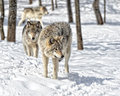 Wolf gathering timber wolves in snow covered forest Stock Image