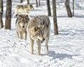 Wolf Gathering Royalty Free Stock Photo