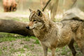 Wolf gray captive animal zoo Royalty Free Stock Images