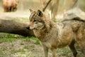 Wolf gray captive animal zoo Royalty Free Stock Images