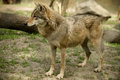 Wolf gray captive animal zoo Royalty Free Stock Photography