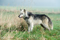 Wolf grey in long grass against a background of mist Stock Photos
