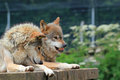 Wolf growling two wolves together lying on a wooden platform one is and showing his teeth Stock Photos