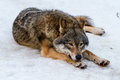 Wolf having a rest in the snow Stock Image