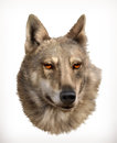 Wolf head illustration Royalty Free Stock Photo