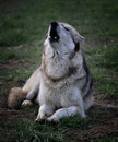 Wolf howl Royalty Free Stock Images
