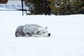 A wolf is laying down with the snow in the winter in the relax time Royalty Free Stock Photo