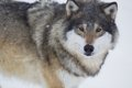Wolf in a norwegian winter forest snowing Royalty Free Stock Photo