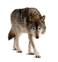Wolf over white Royalty Free Stock Image