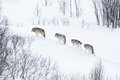 Wolf pack running in the cold landscape wolves norwegian winter forest snowing a day february Royalty Free Stock Image