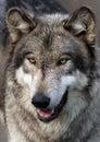 Wolf portrait Royalty Free Stock Photo