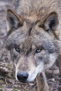 Wolf Portrait Royalty Free Stock Photo