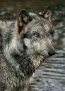 Wolf portrait a beautiful male Royalty Free Stock Photography