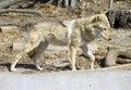 Wolf predator mammal symbol canines fur flock tundra forest burrow den Stock Images