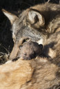 Wolf pup with eats peering out over mother Royalty Free Stock Photo