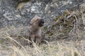 Wolf pup howling for mother