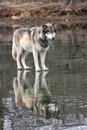 Wolf with Reflection Stock Photo