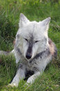 Wolf resting with eyes closed a beautiful northwestern Royalty Free Stock Photo