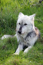 Wolf resting portrait a beautiful northwestern Stock Photo