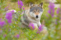 Wolf rests in a grass meadow with flowers Royalty Free Stock Photo