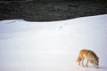 Wolf by the river a gorgeous paws through snow along a remote british columbia true canadian wildlife scene Stock Photography
