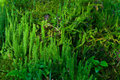 Wolf s foot clubmoss lycopodium clavatum close up of endangered species Royalty Free Stock Photo