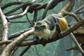 Wolf's mona monkey (Cercopithecus wolfi) Royalty Free Stock Photo