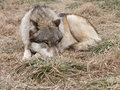 Wolf sleeping winter grass Royalty Free Stock Images