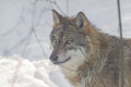 Wolf in the snow, animal photography