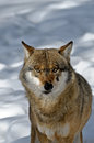 Wolf in snow europeaan the Stock Photography