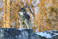 Wolf on a snowy ledge beautiful standing Royalty Free Stock Images