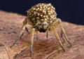 Wolf spider with babies spiders carry their on their back as an extra protection against any would be predators Stock Photos