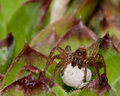 Wolf Spider With Egg Sack Royalty Free Stock Photo