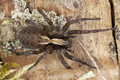 Wolf spider on ground Royalty Free Stock Photos